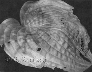 Hosta Leaf In Autumn by C. Rosinski