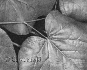 Redbud Leaves drawing by C. Rosinski