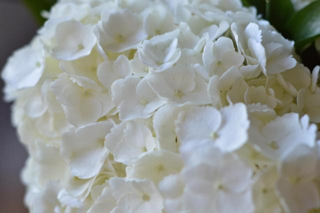 Close up of white hydrangea flowers.