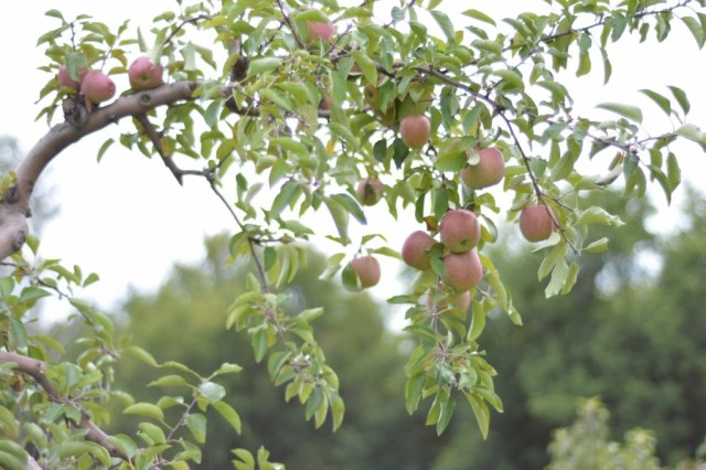 Some beautiful Cortland apples waiting to be picked.