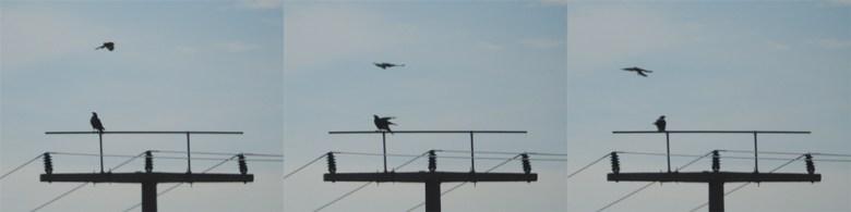 Drei-Bilder-Sequenz: Turmfalken hassen gegen Mäusebussard