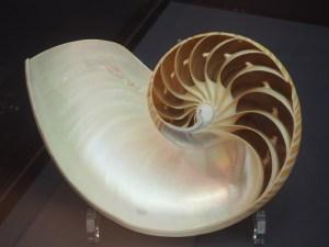 Schale eines rezenten Nautilus