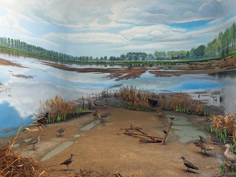 Diorama mit Watvögeln