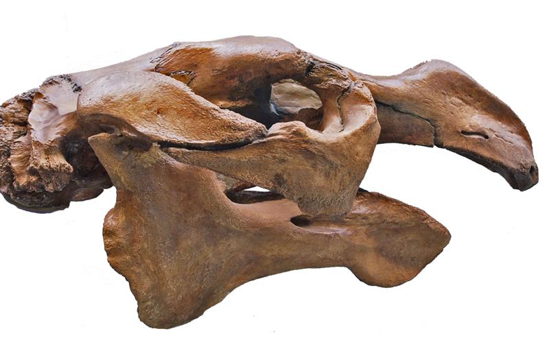 Schädel der Steller Seekuh, Rosensteinmuseum