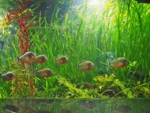 Piranhas in einem Pflanzenaquarium
