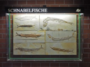 Fossilien von Schnabelfischen