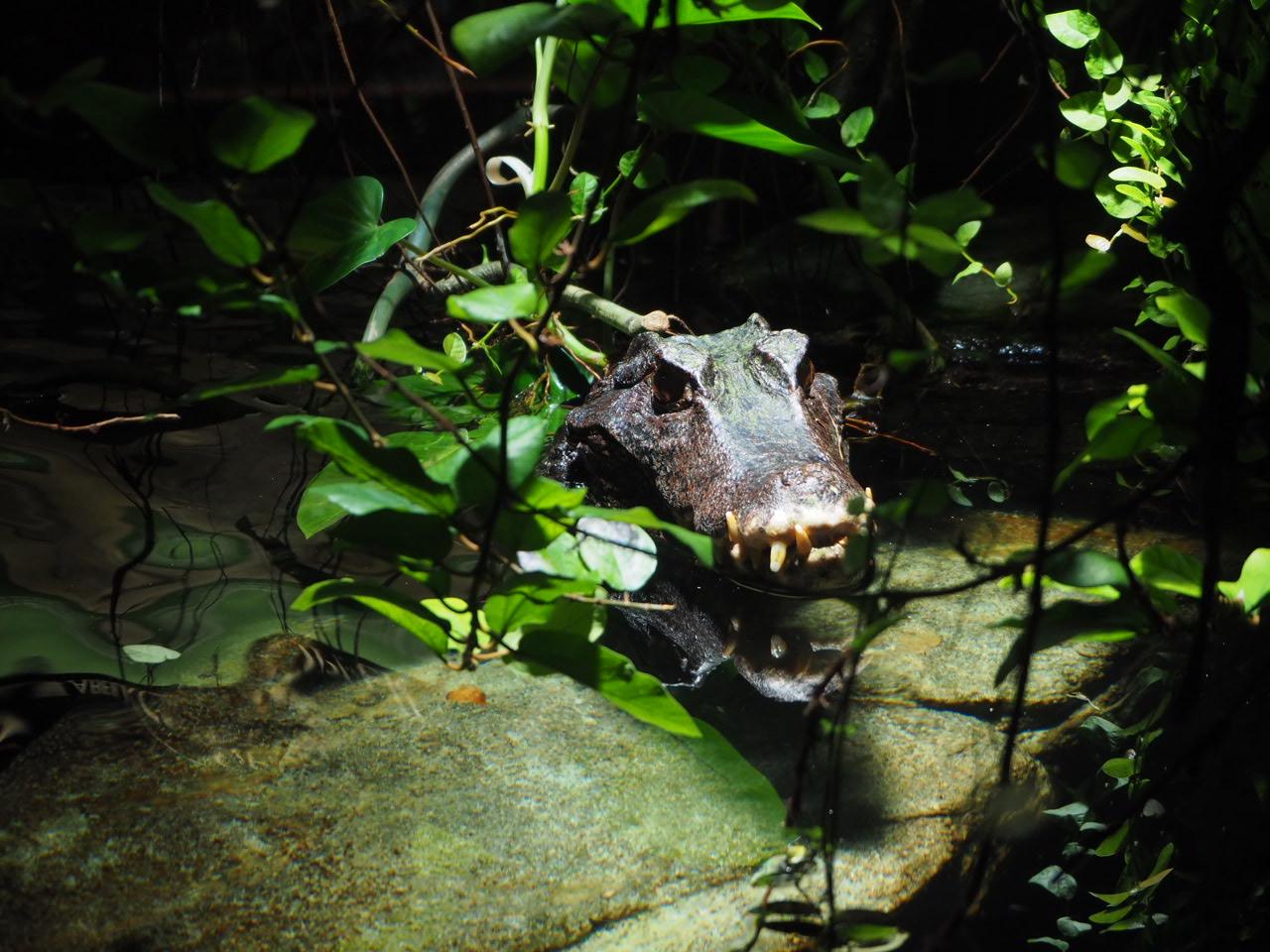 Alligator im Paludarium