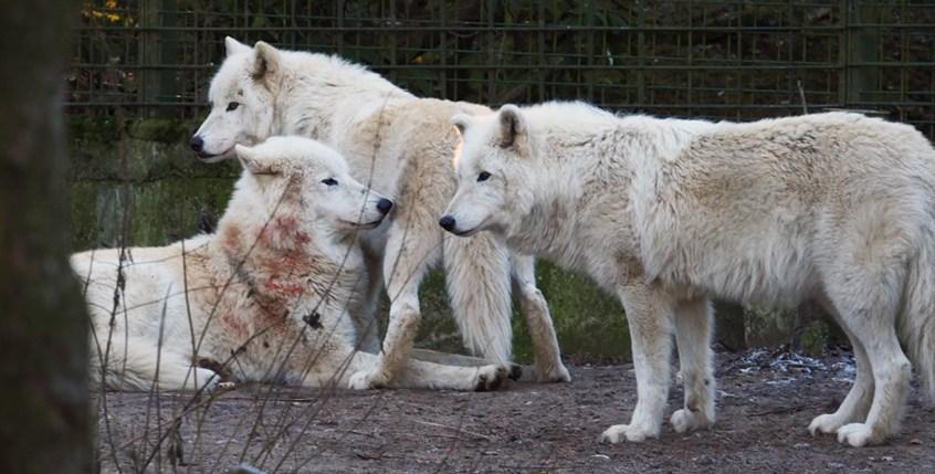 Weiße Wölfe im Zoo Duisburg