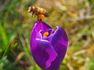 Fliegende Biene über Krokusblüte