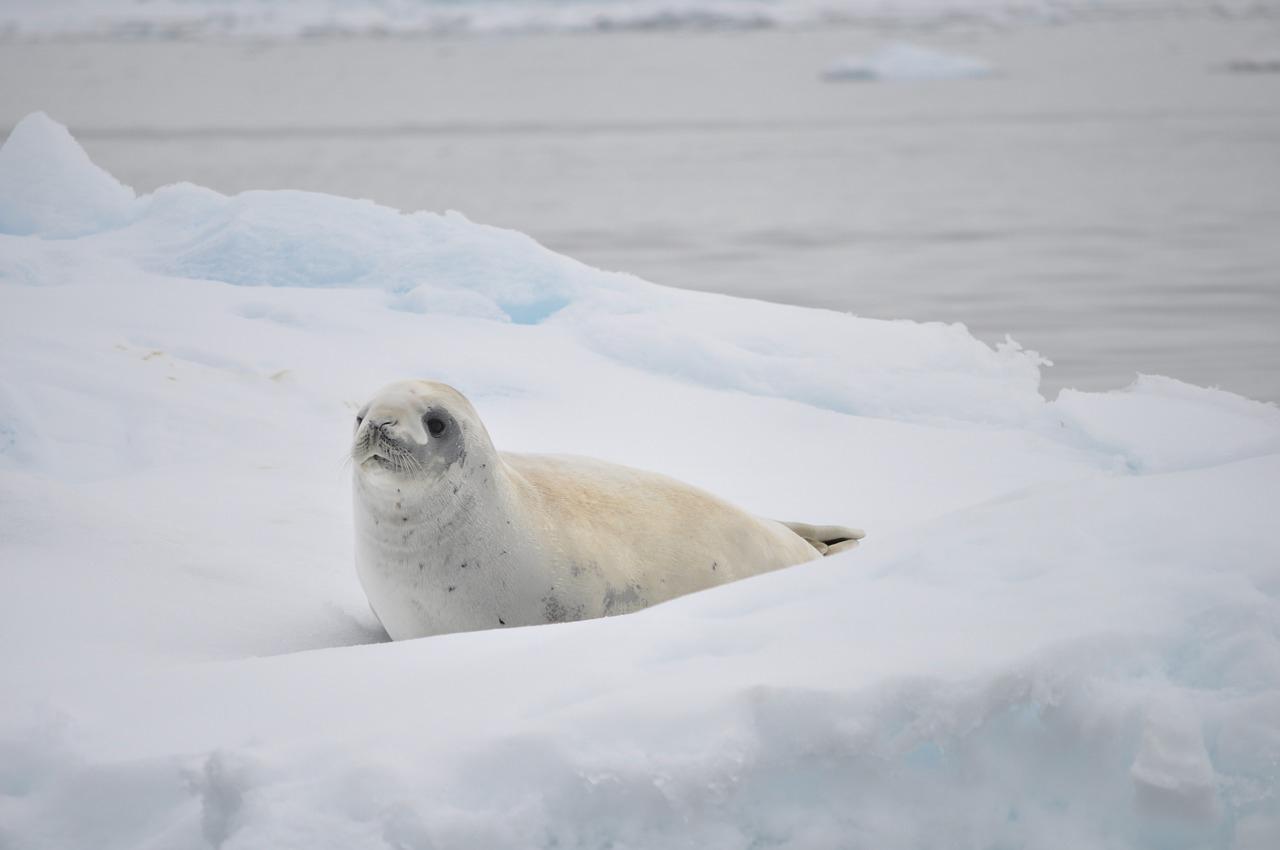 Jungtier einer antarktischen Robbe, Foto: Pixabay, B. Hart