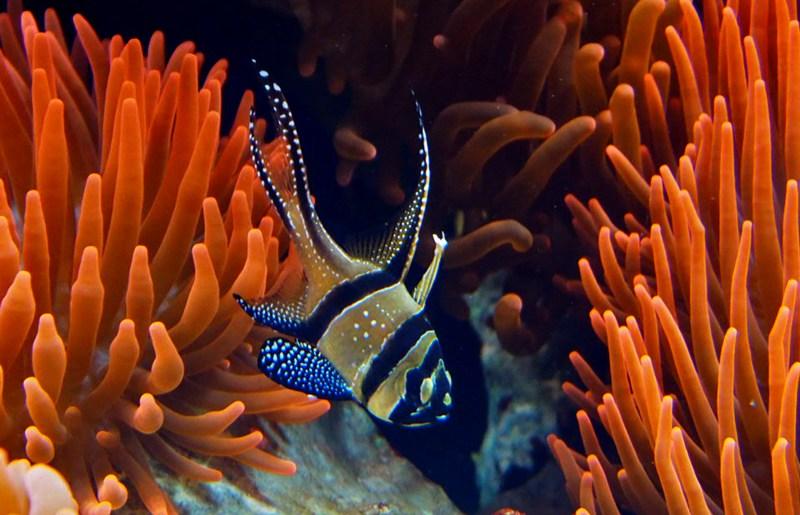 Pterapogon kauderni zwischen Kupferanemonen