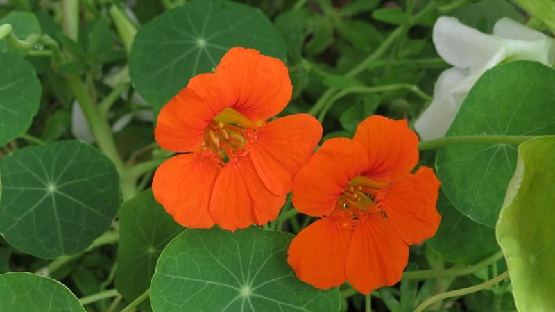 orangefarbene Blüten der Kapuzinerkresse