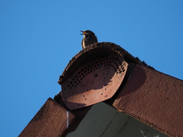 Hausrotschwanz-Männchen singt auf dem Giebel des Nachbarhauses