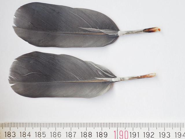 Zwei Federn, ca 10 cm lang