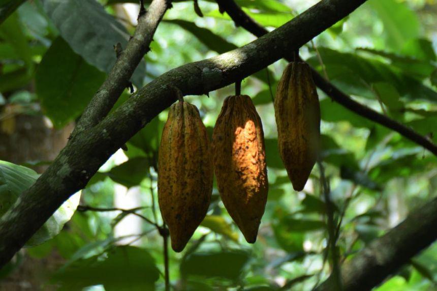 Kaffeeplantage - Kakao