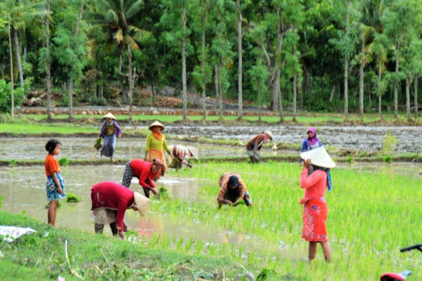 Ernte auf den Reisfeldern