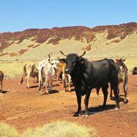 Cattle Mustering- Yeeeha, wir arbeiten als Cowboy/-girl
