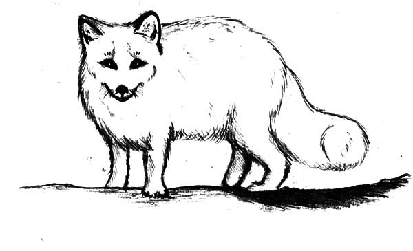 artic fox coloring pages for kids best place to color