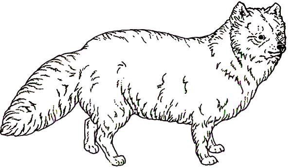 awesome animal artic fox coloring pages best place to color