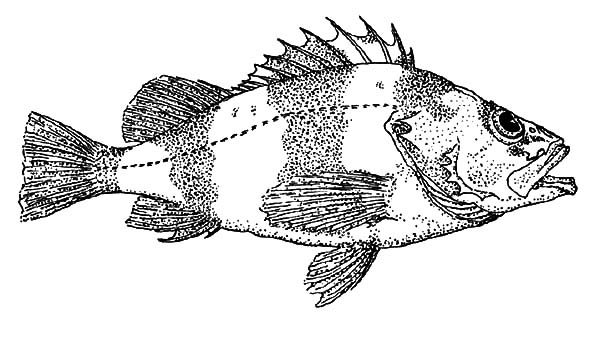 bass fish bass fish coloring pages for kids
