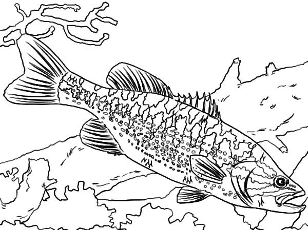 bass fish guadalupe bass fish coloring pages
