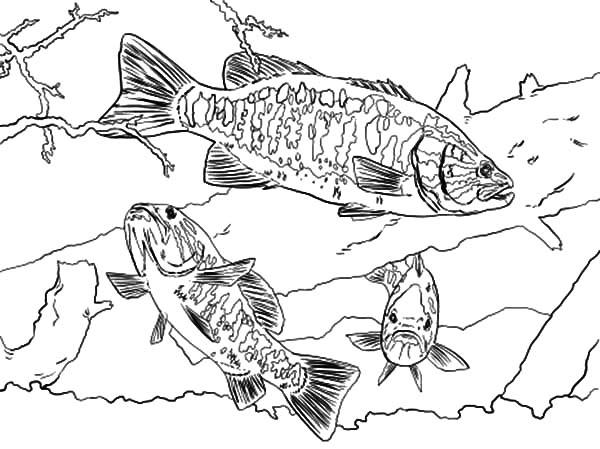 bass fish smallmouth bass fish coloring pages smallmouth bass fish