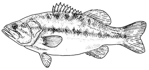 bass fish texas largemouth bass fish coloring pages