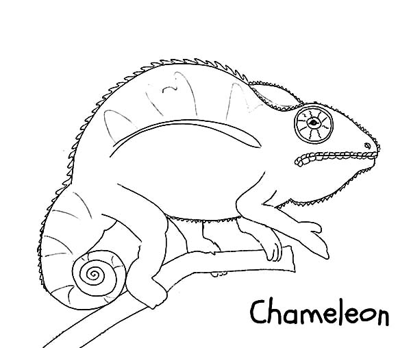 wild life chameleon coloring pages wild life chameleon coloring