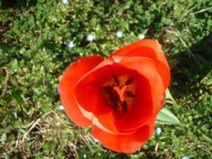 tulipano visto dall'alto, 6 petali (3+3) ognuno con uno stame, un pistillo al centro con stimma trilobato