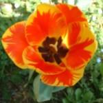 TTD tulipano giallo e arancio
