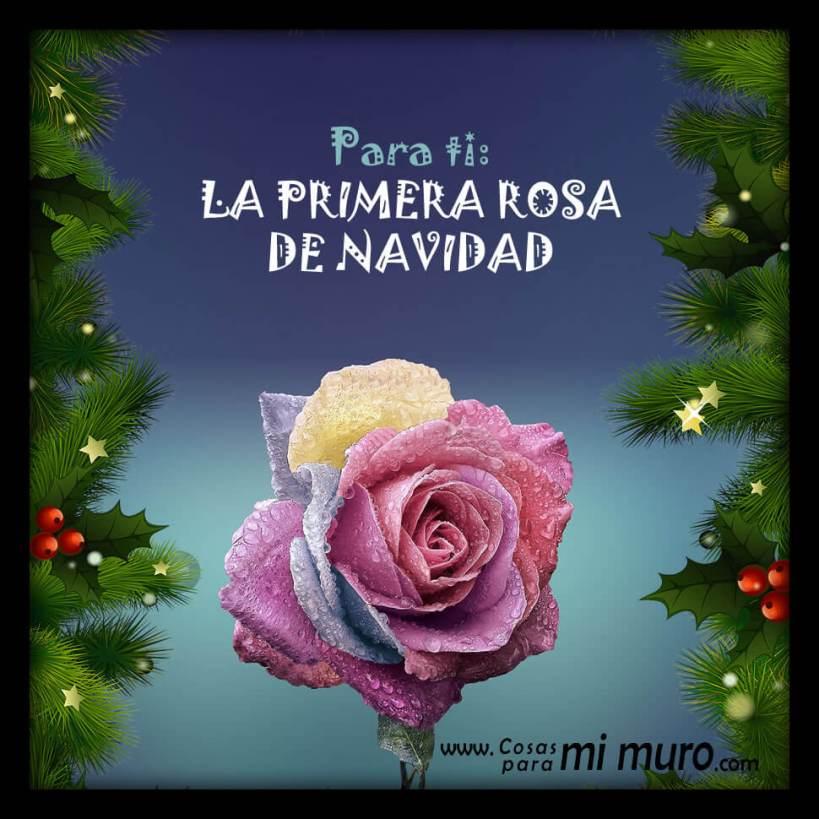 La primera rosa de Navidad