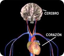 Cerebro - Corazón