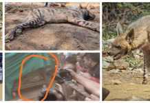 The Saved Hyena (hyena), a member of the Save Arwali Trust, was rescued more than 12 hours earlier, which was corrected to the Haryana Wildlife.