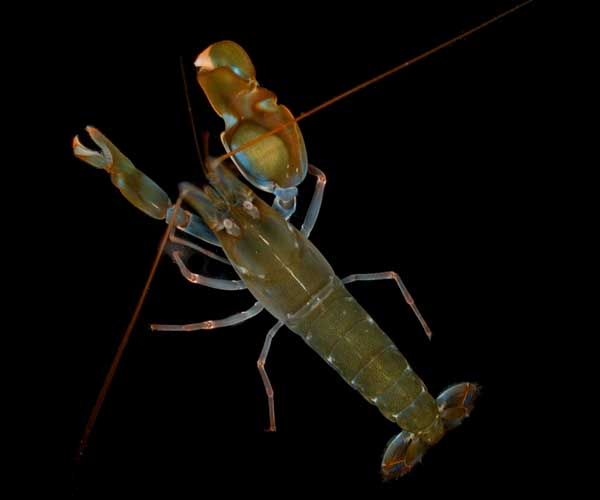 One of many species of pistol shrimp [Alpheus heterochaelis]