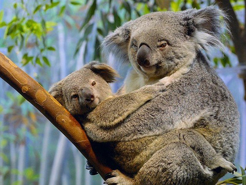 Koala Bear Pictures