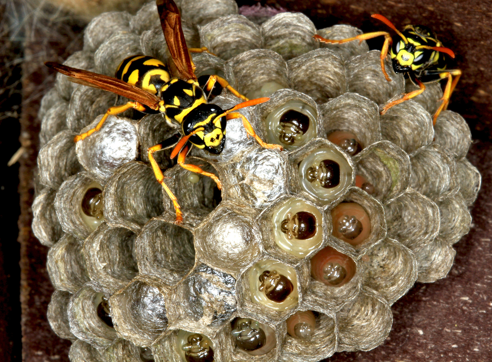 Bees That Make Mud Nests