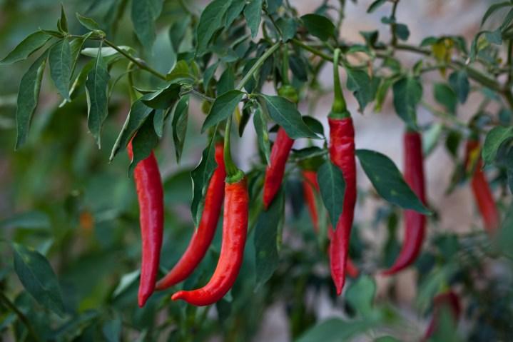 Cayenne Pepper - SERRANO CHILI FRESH (click image to view)