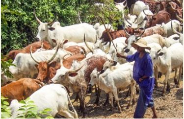 LASG seizes 30 cows, 10 rams, warns herdsmen over illegal grazing