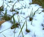 Snow melting around plants