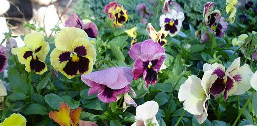 Colorful fall pansy flowers