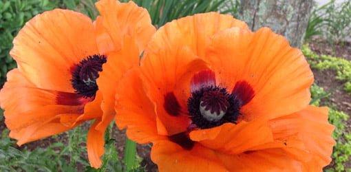 Two orange poppy flowers with dark centers.