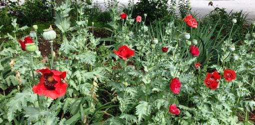 How to grow oriental poppies in your garden todays homeowner red poppy flowers growing in garden mightylinksfo