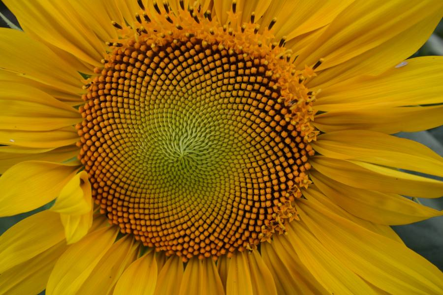 sunflower-fibonacci