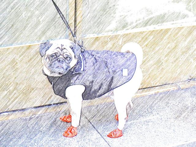 How to dress for Snowstorm Juno if you're a Manhattan Pug