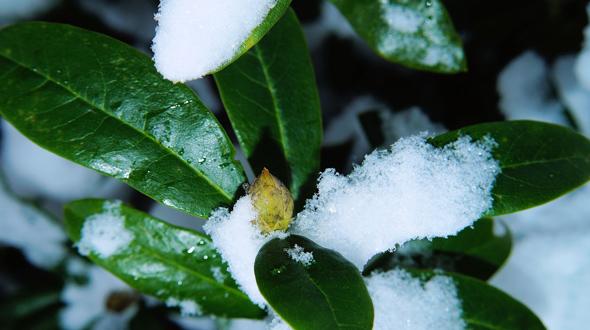 Azalea in winter Marietta Ga yard