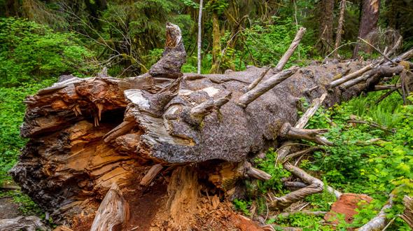 Dead fallen decaying tree in landscape