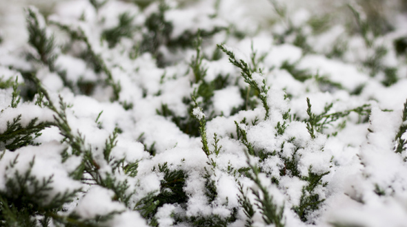 Evergreen shrub in winter covered with freezing snow