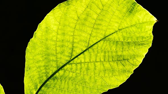 Photosynthesis in leaves for tree growth