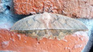 tranquilo moth