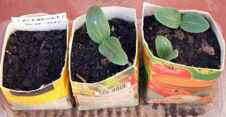 Calabacines diamant a los cinco días de la siembra